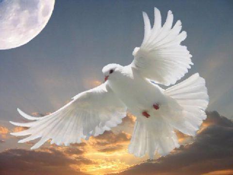 Les Vertus de la colombe  dans OISEAUX 74d7uqel